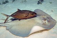 bar jack, Caranx ruber, in dark phase follows feeding southern stingray, Dasyatis americana, to scavange scraps, Grand Cayman, Cayman Islands, Caribbean Sea, Atlantic Ocean