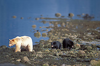 spirit bear, kermode, black bear, Ursus americanus, mother with cubs looking for salmon, central British Columbia coast, Canada