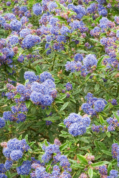 Ceanothus Blue Diamond with blue flowers clusters