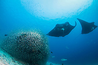 two reef manta rays, Manta alfredi, hover over a cleaning station covered in baitfish, Raja Ampat, West Papua, Indonesia, Pacific Ocean