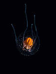 Anthoathecata - Thecocodium quadratum Medusa, Black Water Diving, extreme scuba diving, Gulf Stream Current, larval fish, macro underwater, Nauticam, Nikon, Pelagic marine life, Plankton, SE Florida Atlantic Ocean, unidentified Jellyfish, vertical migration