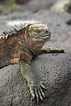 The Galapagos marine iguana is the world's only sea-going lizard and is found on all of the main islands<br /> Iguanas have colonized any single rock and it becomes hard not to walk on them !<br /> There are seven races or subspecies which vary considerably in size and colour from island to island. The marine iguana lives largely on lands but feeds inshore and in the intertidal zone at depths of up to about 10 meters.<br /> Because it is cold blooded, the iguana must warm up by baking in the sun on the black lava rocks. To avoid overheating, it varies its position in relation to the sun. It feeds alost entirely on red and green algae. The males take on a red tinge during the mating season