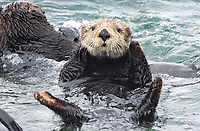 In the midst of the raft, a mature sea otter, Enhydra lutris nereis. curiously watches @ Moss Landing in the Monterey Bay National Marine Sanctuary.