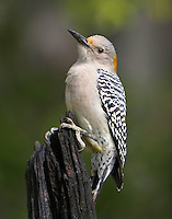 Female golden-fronted woodpecker