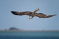 Osprey dives for fish.