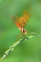 304560011 a wild male eastern amberwing dragonfly perithemis tenera perches on a dead grass stem at santa ana national wildlife refuge rio grande valley texas united states