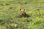 A grizzly bear cub (399's) plays with and chews on the wildflower blossoms growing abundantly amid the sagebrush in Grand Teton National Park, Wyoming.