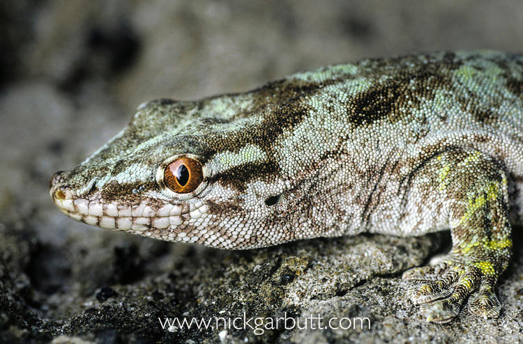 Round Island or Gunther's Gecko (Phelsuma guntheri) on Round Island, Mauritius, Indian Ocean.