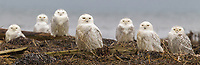 A parliament of seven Snowy Owls (Bubo scandiacus) rest together on a beach during an irruption year when a.  Most irruptive owls are juveniles and arrive in unusual numbers and unexpected places as a result of productive breeding years in the preceding months.  (Boundary Bay, British Columbia, Canada) (unbaited)