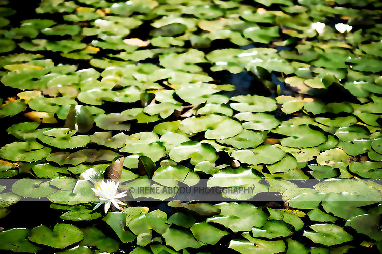 In late June, the water lilies at Kenilworth Aquatic Gardens are in full bloom.  The land of Kenilworth Aquatic Gardens was initially bought by W.B. Shaw, who farmed water lilies in the marshes as a hobby, eventually turning it into a large commercial endeavor and developing many new varieties of lilies through hybridization.  When Shaw passed away, his daughter, Helen Fowler, continued the business.  In the 1920s and 30s, with her permission for visitors to view the lilies on Sunday mornings, the farm began to receive up to 5,000-6,000 visitors in a single day.  Eventually, she donated the land to the National Park System, and Kenilworth Aquatic Gardens as we know it today was born.
