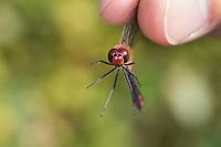 Libellen-Bestimmung, gefangene Libelle wird vorsichtig zwischen zwei Fingern gehalten, Entomologie, Biologie, Freilanduntersuchung, Zoologie, entomology, biology, zoology. Blutrote Heidelibelle, Männchen, Sympetrum sanguineum, ruddy sympetrum, Ruddy Darter, male, Sympétrum sanguin
