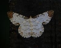 epimecis moth
