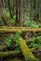 Fallen forest trees and moss, Hoonah, Alaska, USA