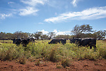 Cattle Near Maunaloa