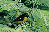 Baltimore Oriole, Icterus galbula, male, South Padre Island, Texas, USA, May 2005