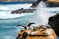 Brown pelican with his pod, spreading his wings on a rock, with a big, crashing Pacific Ocean wave, in La Jolla Cove cliffs, California USA