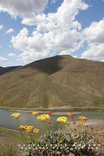 Wildflowers above the John Day River, Oregon.