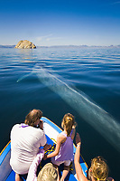 blue whale, Balaenoptera musculus, surfacing by the bow of a tourist boat, Baja California, Mexico, Gulf of California, or Sea of Cortez, Pacific Ocean