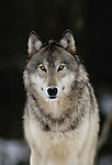 Gray wolf portrait, Canada