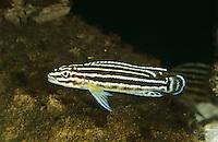 Vierstreifen-Schlankcichlide, Regans Schlankcichlide, Julidochromis regani, convict julie, Regan's Julie