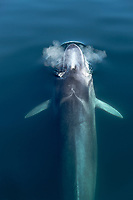 fin whale, Balaenoptera physalus, blowing, Baja California, Mexico, Gulf of California, aka Sea of Cortez, Pacific Ocean