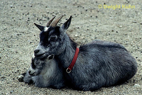 SH05-005z  Goat - nanny goat with kid