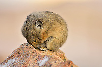 American pika (Ochotona princeps) resting.  Beartooth Mountains, Wyoming/Montana border.  Sept.  This photo was taken in alpine setting at around 11,000 feet (3350 meters) elevation.