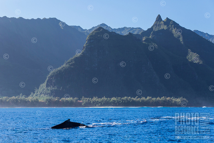 Aumpback whale swims along the Na Pali Coast of Kaua'i.
