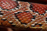 1R22-613z  Corn Snake, Banded Corn Snake, Elaphe guttata guttata or Pantherophis guttata guttata, close-up of scales