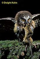 OW03-049z  Saw-whet owl - immature owl with mouse prey - Aegolius acadicus