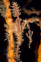 Couple of Ornate ghost pipefish, Solenostomus paradoxus, Lembeh Strait, North Sulawesi, Indonesia, Pacific Ocean