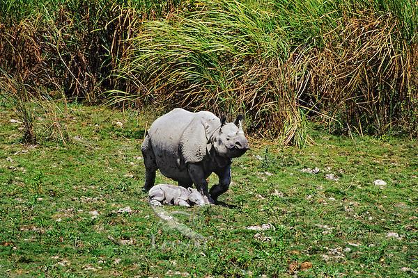 Indian one-horned Rhinoceros mother guarding resting newborn.