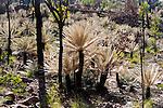 Pale cycads, Arnhem Land, Northern Territory, Australia