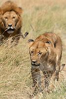 A male and female Lion, Panthera leo  melanochaita, in Maasai Mara National Reserve, Kenya