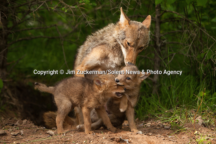 A coyote pup looks like it's giving its mum a back scratch as it begs for her attention.  Two juveniles were captured playing with their mother in northern Minnesota, near the Canadian border.<br /> <br /> Their mum appears to howl with delight as her pup scratches her back.  SEE OUR COPY FOR DETAILS.<br /> <br /> Please byline: Jim Zuckerman/Solent News<br /> <br /> © Jim Zuckerman/Solent News & Photo Agency<br /> UK +44 (0) 2380 458800
