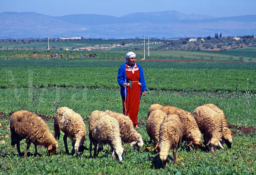 Shepherd tending his sheep, Morocco