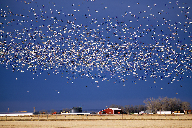 Large flock of Snow Geese that gather at Freezeout Wildlife Refure in Montana area each spring
