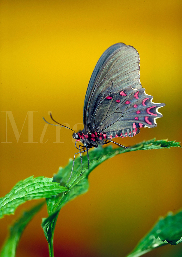 """PARIDES PHOTINUS, """"""""Pink-spotted Cattleheart Butterfly"""""""", a Central & South American (Neotropical) butterfly, at Audubon Zoo. Subfamily - Papilioninae; Family - Papilionidae; Order - Lepidoptera; Class - Insecta; Phyllum - Arthropoda; Kingdom - Anima lia. N"""