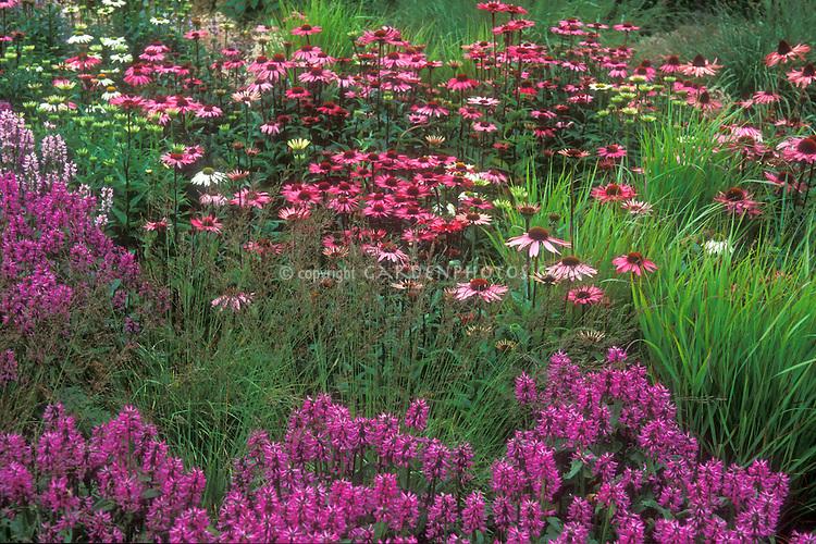 Echinacea 'Rubinglow', Imperata cylindrata, Panicum virgatum 'Rehbraun', Saponaria in Piet Oudolf garden border