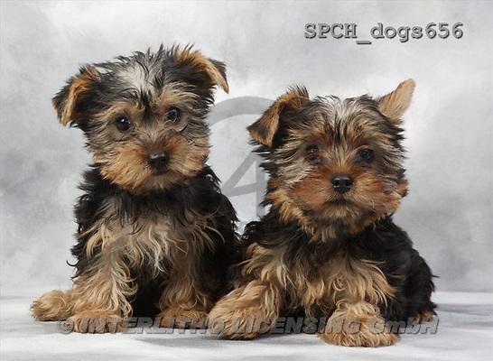 Xavier, ANIMALS, dogs, photos(SPCHdogs656,#A#) Hunde, perros