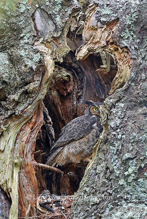 Great horned owl in tree cavity
