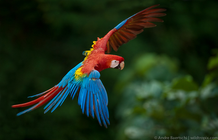 Scarlet Macaw (Ara macao) flying above canopy, lowland tropical rainforest, Manu National Park, Peru