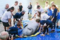 Volunteers help the Wildlife Trust lower an adult Florida Manatee or West Indian manatee, Trichechus manatus latirostris, onto the ground before attaching a satellite tracking device and recording other research data. Blue Springs State Park, Florida. (cr)