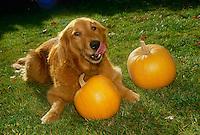 Golden retriever with pumpkins for Halloween, tongue licking