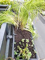 hinten: Zwergtaglilie, vorn: restliche Indianernessel<br /> Europe, Germany, Ruhr Area, Wetter<br /> <br /> Europa, Deutschland, Ruhrgebiet, Wetter<br /> <br /> [MODEL RELEASE: NO, Copyright: Vera Schimetzek, Bornstrasse 5, 58300 Wetter, Germany, phone: 0049.2335.970650, mobil: 0049.151.21220918, www.schimetzek-foto.de, schimetzek@web.de,<br /> Die Verwendung des Fotos ist honorarpflichtig. Keine Verwendung ohne Genehmigung.  Es gelten die AGB.<br /> For use the general terms and conditions are mandatory. No use without permission. The use of the image is subject to a fee.]