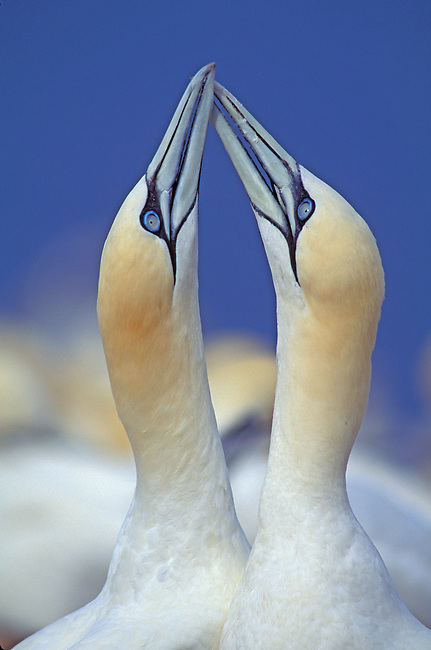 CANADA, QUEBEC, GASPE, BONAVENTURE IS., GANNETS FENCING, WELCOMING/MATING BEHAVIOR