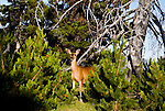 Mule Deer(Blacktail) doe stands amid new growth regenerating after forest fire.  (). Olympic Peninsula