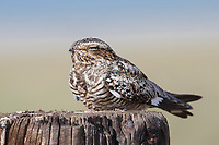 Adult female Common Nighthawk (Chordeiles minor) roosting on a fence post. Sublette County, Wyoming. June.