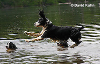 0808-0809  English Springer Spaniel Jumping off Dock into Water, Canis lupus familiaris © David Kuhn/Dwight Kuhn Photography.