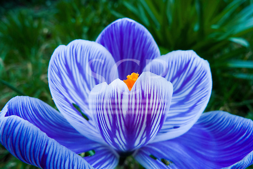 Kingston upon Thames, England. Open blue crocus flower with orange-yellow stamen.